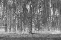 Those willows along the banks of the Potomac.