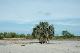 Lonely palm tree. Beaufort.