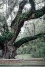 The Secession Tree. Bluffton.