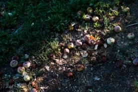Rotting apples.